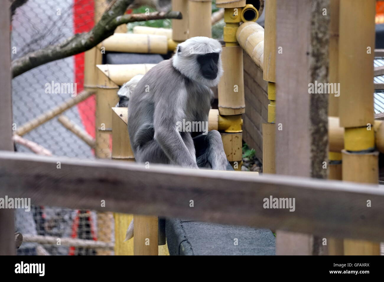 London, UK. 30th July, 2016. Monkey at ZLS London Zoo an opening day for Little Creatures Family Festival ,England, - Stock Image
