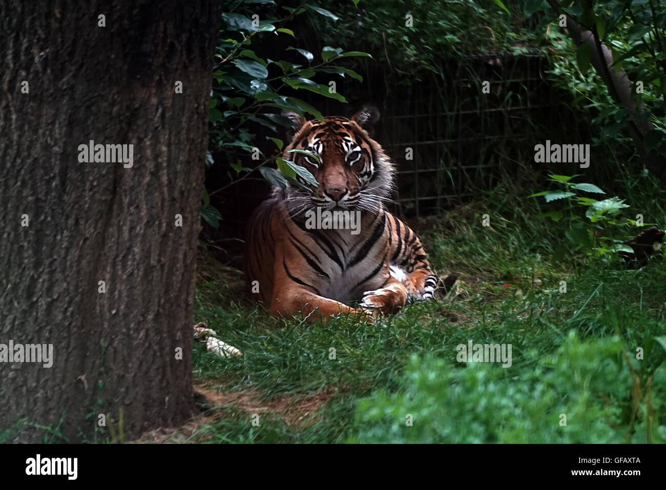London, UK. 30th July, 2016. A Tiger at ZLS London Zoo an opening day for Little Creatures Family Festival ,England, - Stock Image