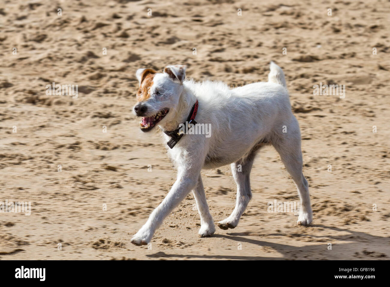 Southport, Merseyside, UK.   31st July, 2016. A Parson Russell Terrier, a dog with no eyes, exercises on Ainsdale - Stock Image