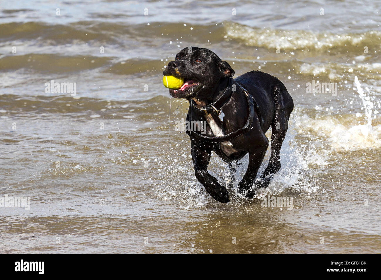 Dog plays on the beach and in the sea with a long wooden stick. Southport, Merseyside, UK.   31st July, 2016.  UK - Stock Image