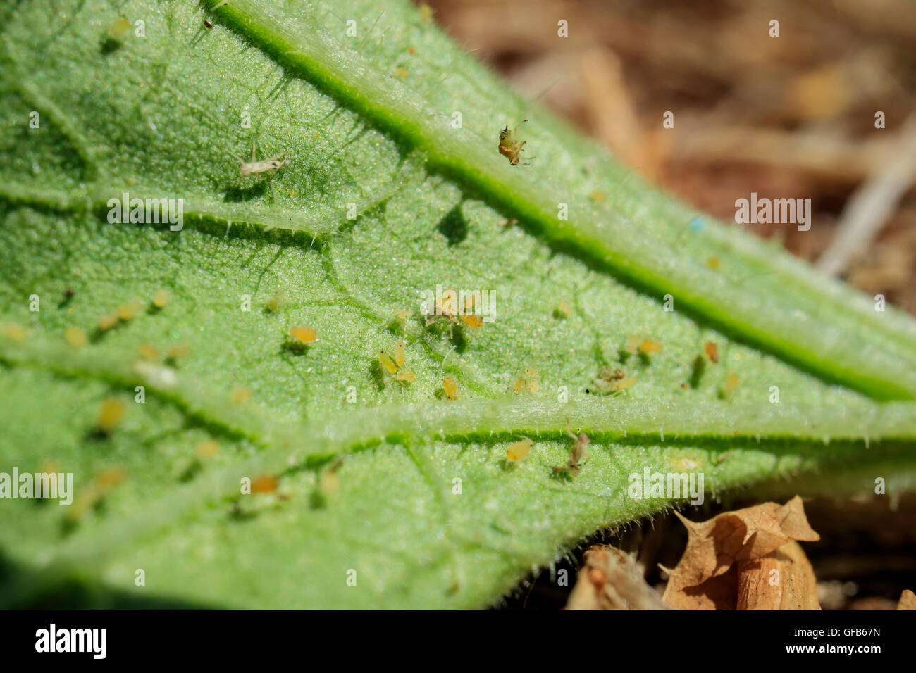 Pests - Aphid on the Kale, harming the plant - Stock Image