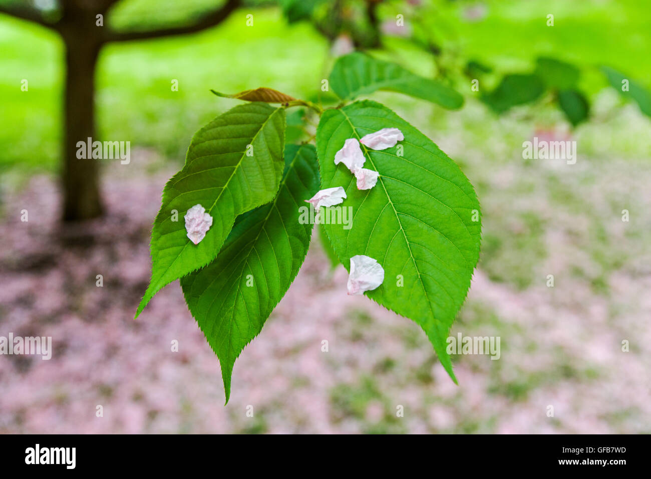 Yellowing Leaves On Cherry