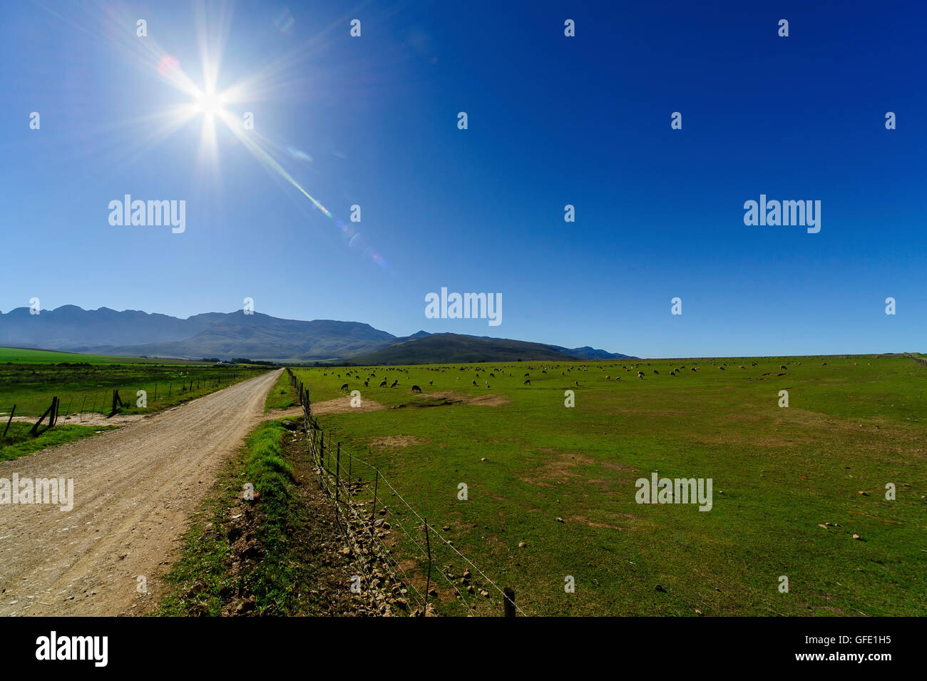 Group of  Sheep in contre-jour, Calendon, South Africa Stock Photo