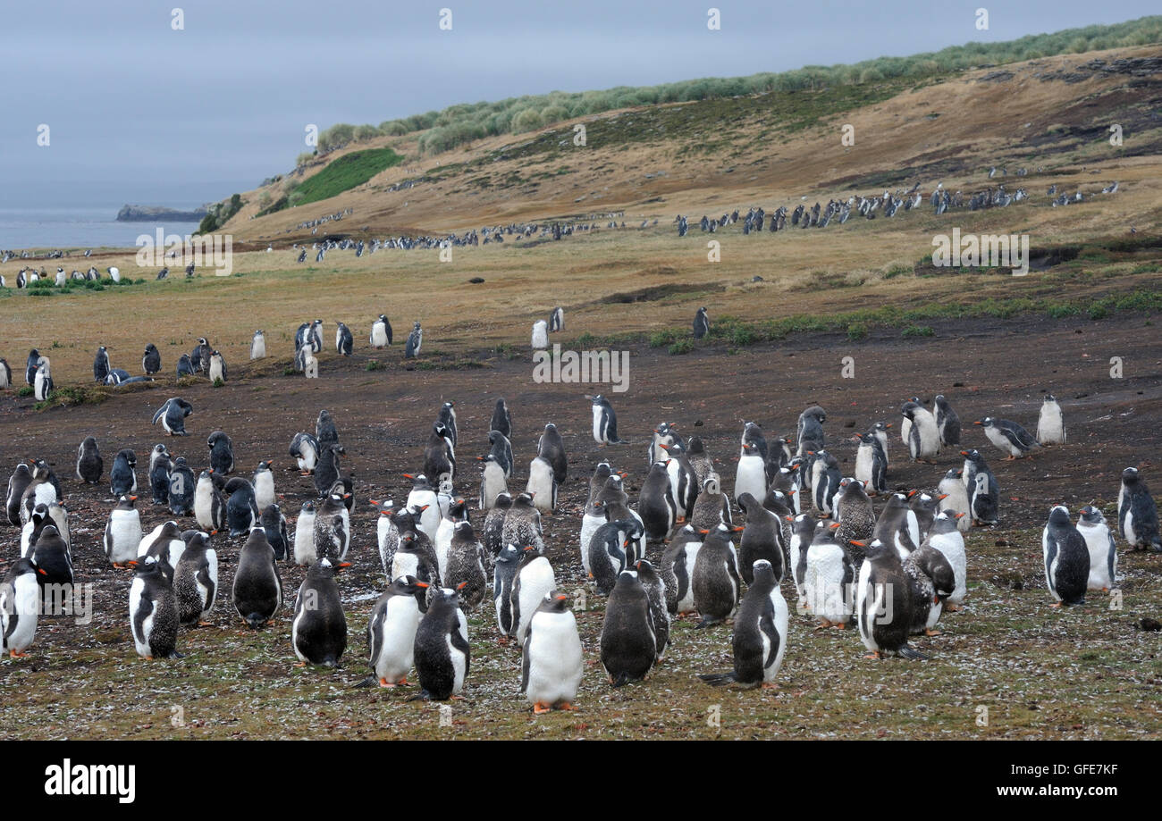 Moulting adult and young   Long-tailed Gentoo penguins  (Pygoscelis papua) and  Megellanic Penguins (Spheniscus - Stock Image