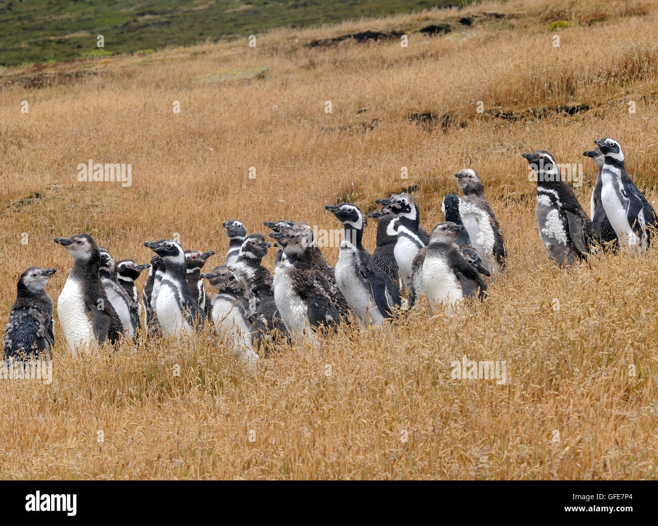 Moulting adult and young  Megellanic Penguins (Spheniscus magellanicus) at their nesting colony Carcass Island, - Stock Image