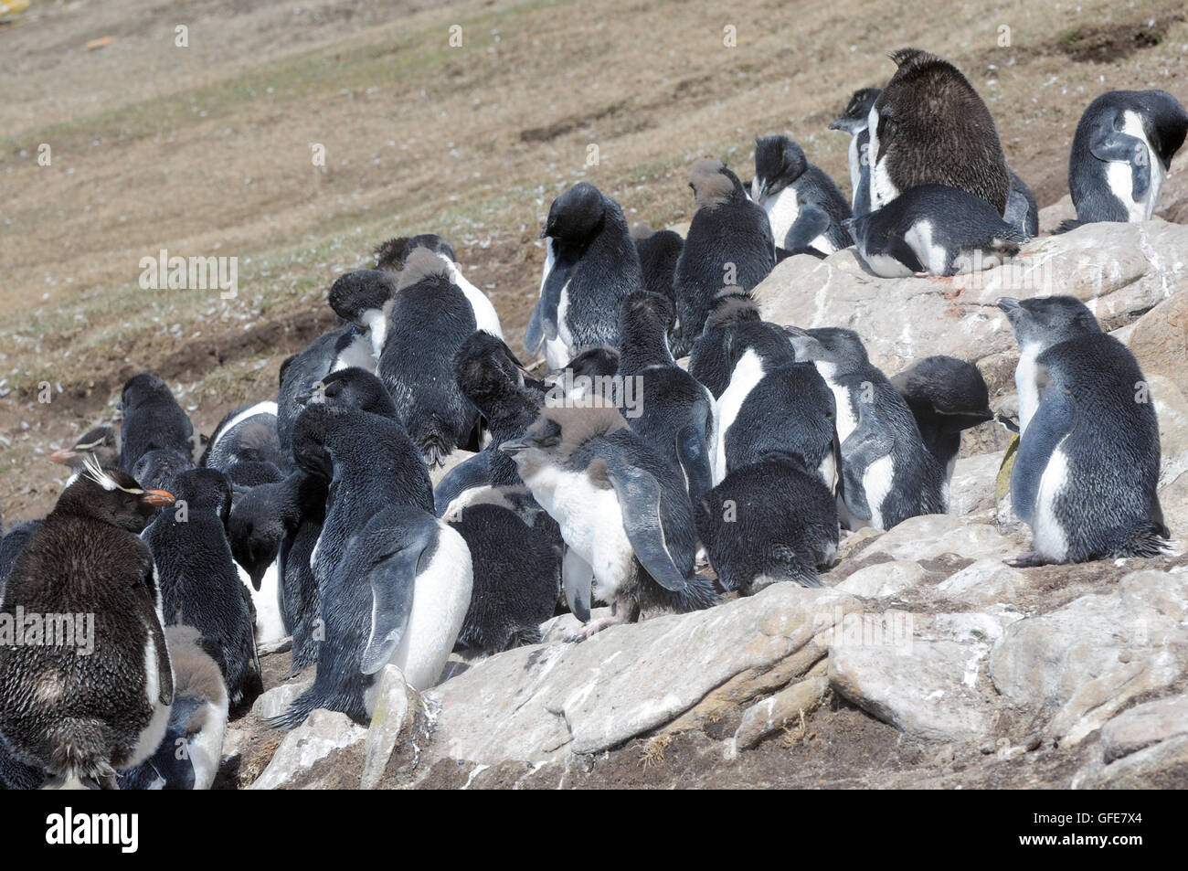Adult and moulting  young southern rockhopper penguins (Eudyptes chrysocome chrysocome) at the nesting colony on - Stock Image