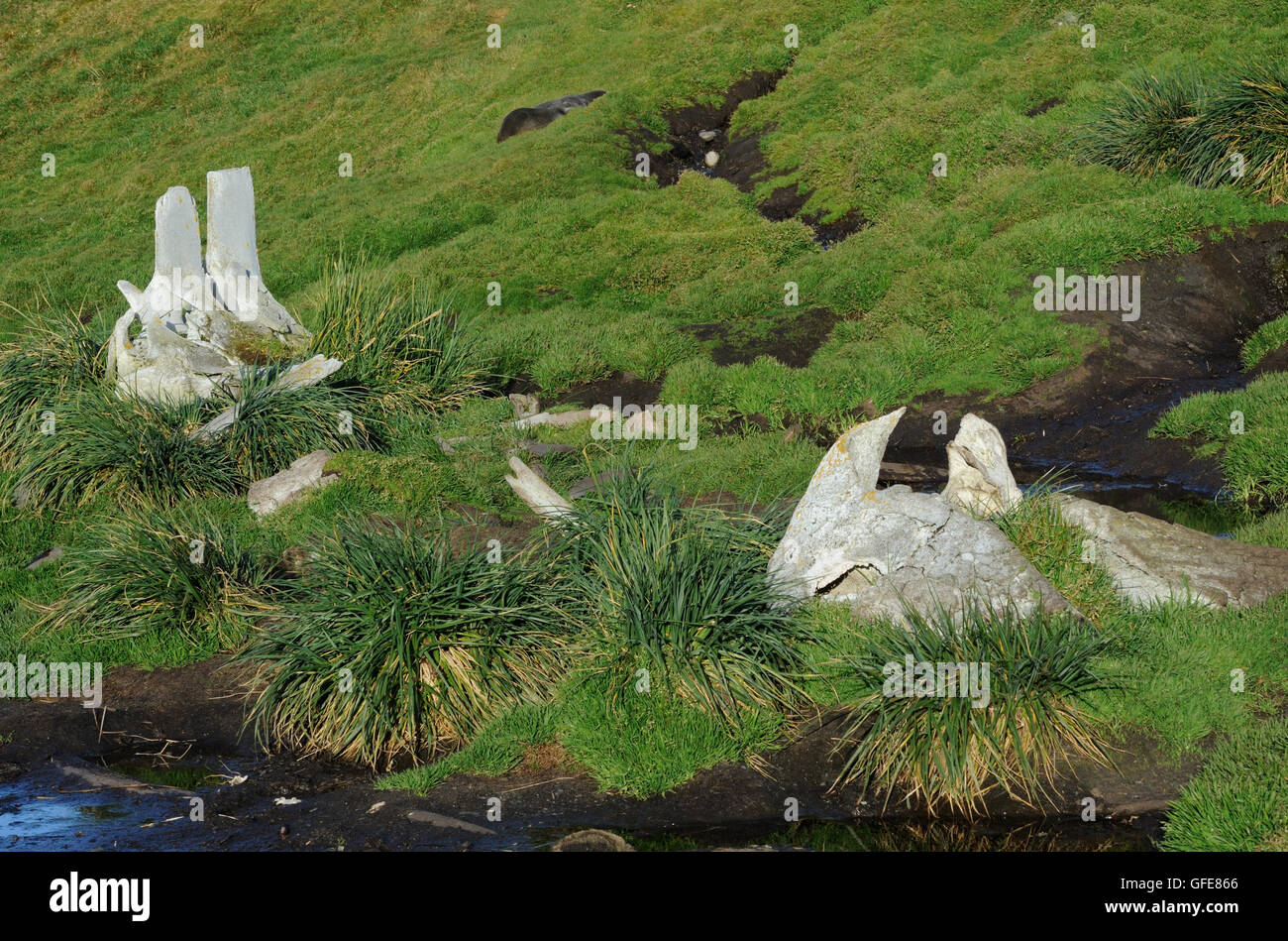 Bones of whales left by the now defunct whaling industry lie among Tussac grass (Poa flabellata) and smaller grasses. - Stock Image