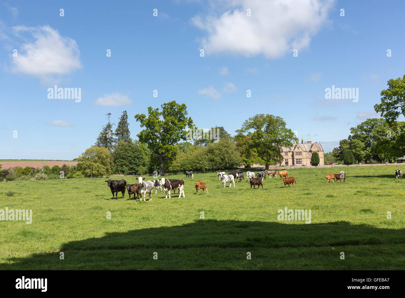 Farm and cows in Tweed Valley,  UK - Stock Image