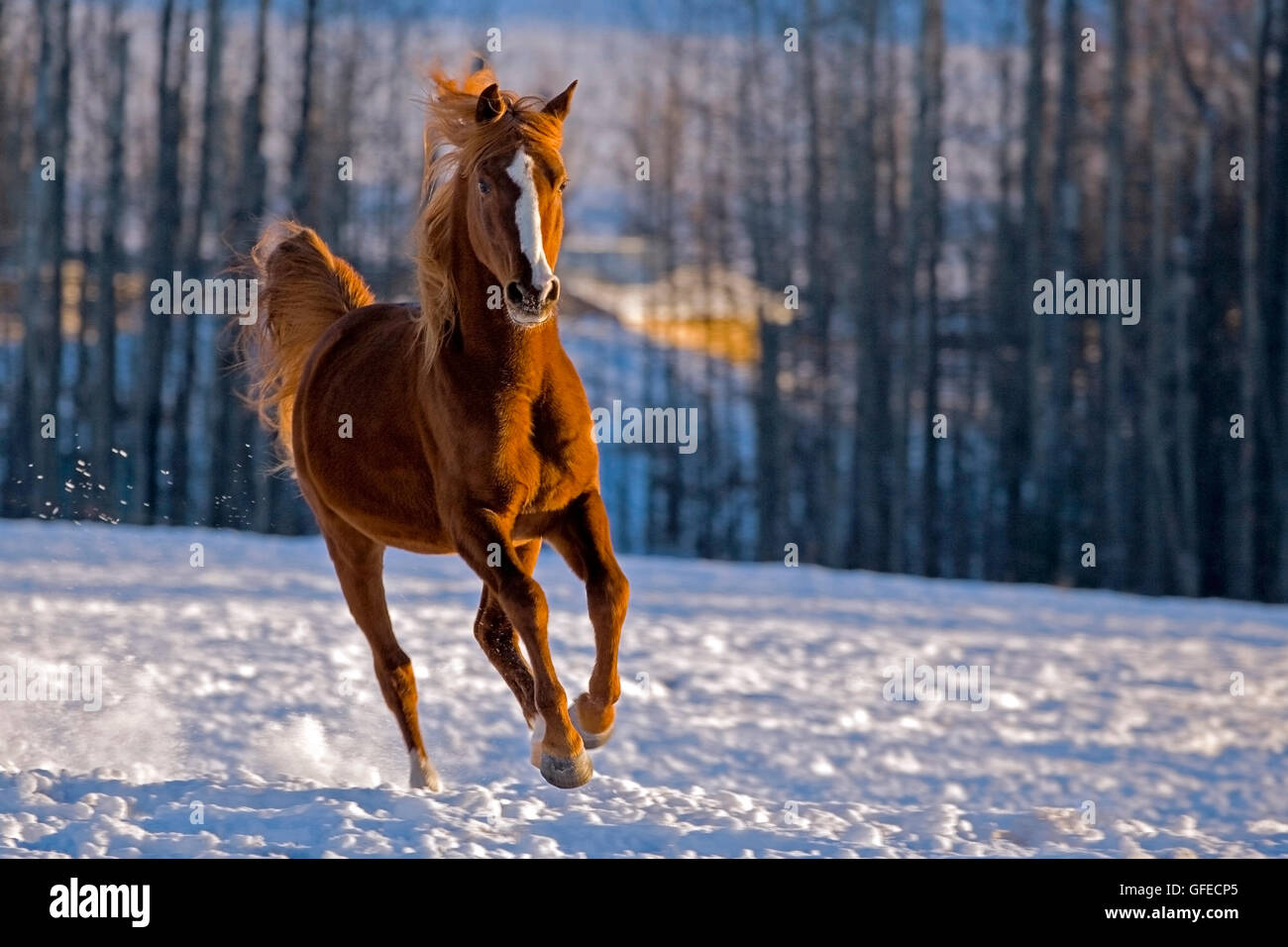 Arabian chestnut Stallion galloping in a snowy field in late winter. - Stock Image