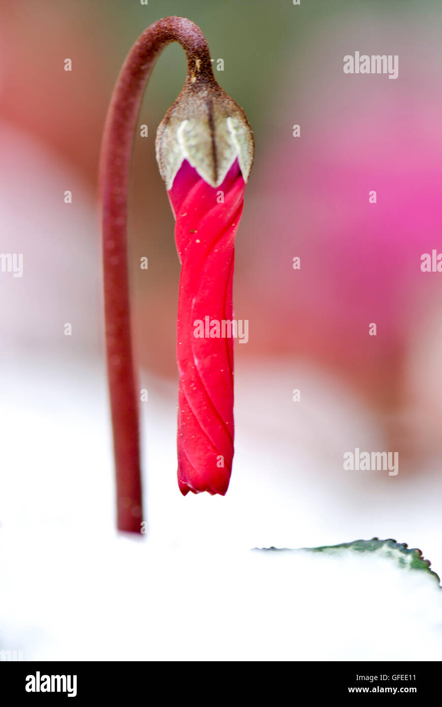 close up of a Persian Violet Cyclamen persicum looming out of the snow a concept of growth and renewal - Stock Image
