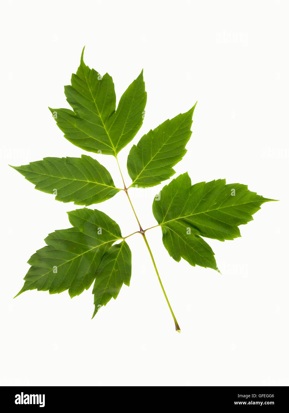 Box elder maple leaves cut out on white background. - Stock Image