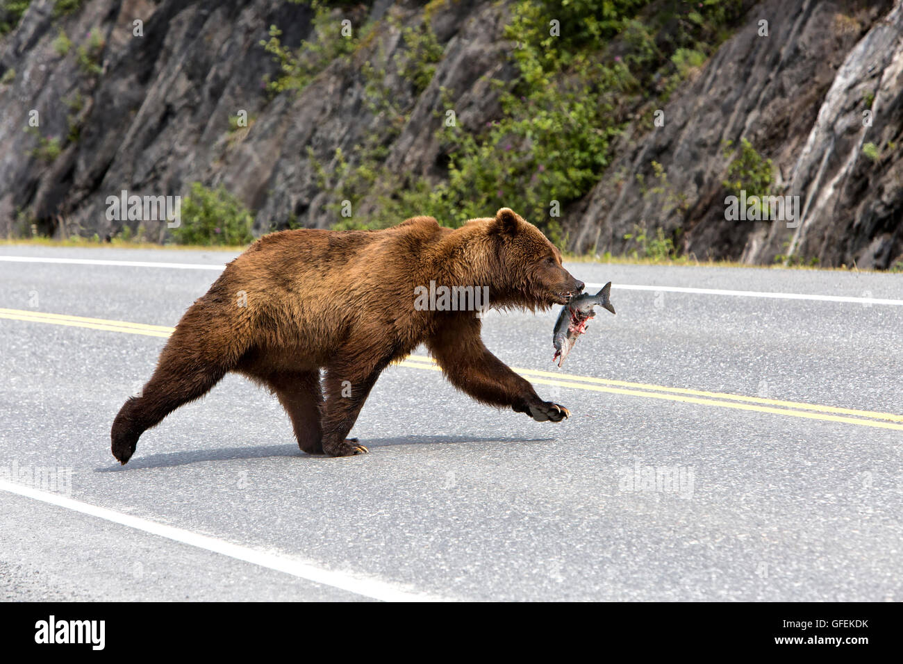 Young male Grizzly Bear carrying salmon crossing Alaska State Highway. - Stock Image