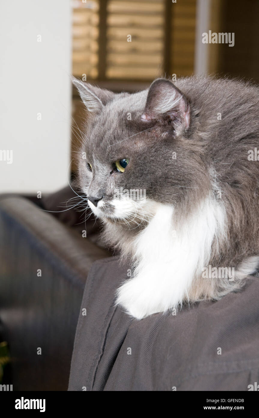 Grey and white Persian Cat with green eyes - Stock Image