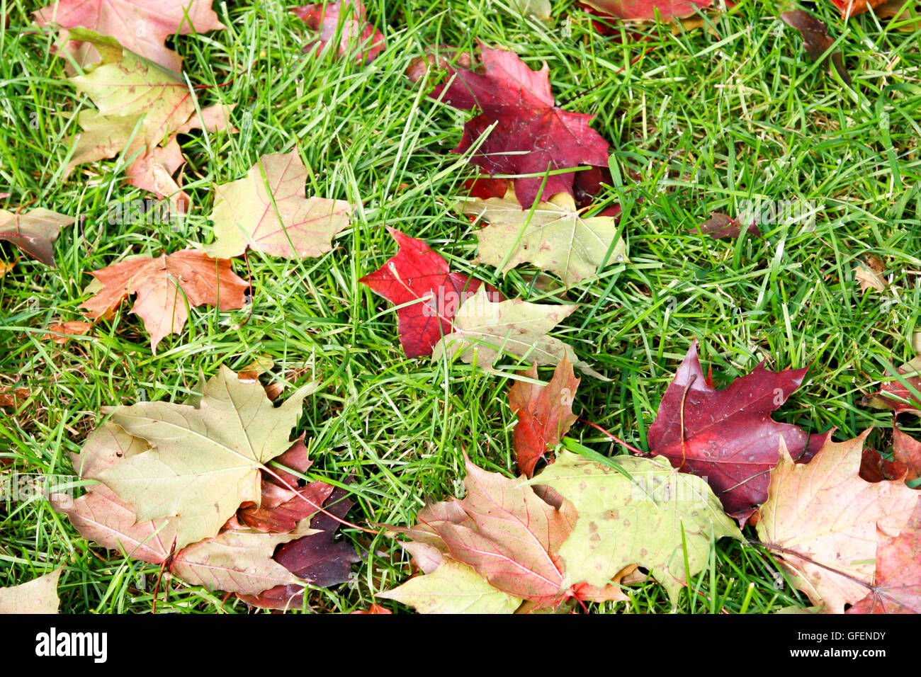 Autumn leaves on green grass - Stock Image