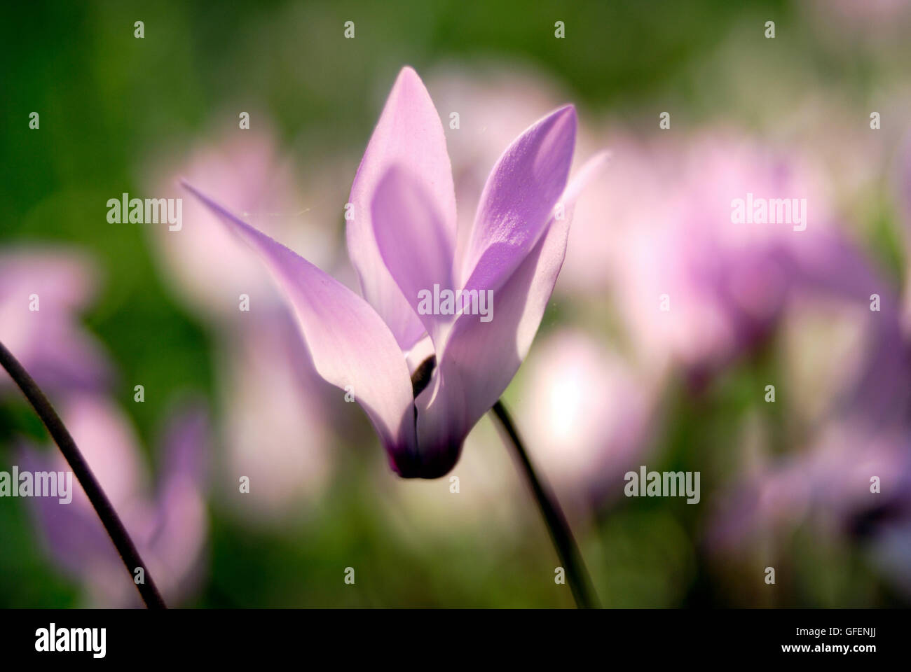 Cyclamen persicum Persian Violets, Israel Spring March - Stock Image