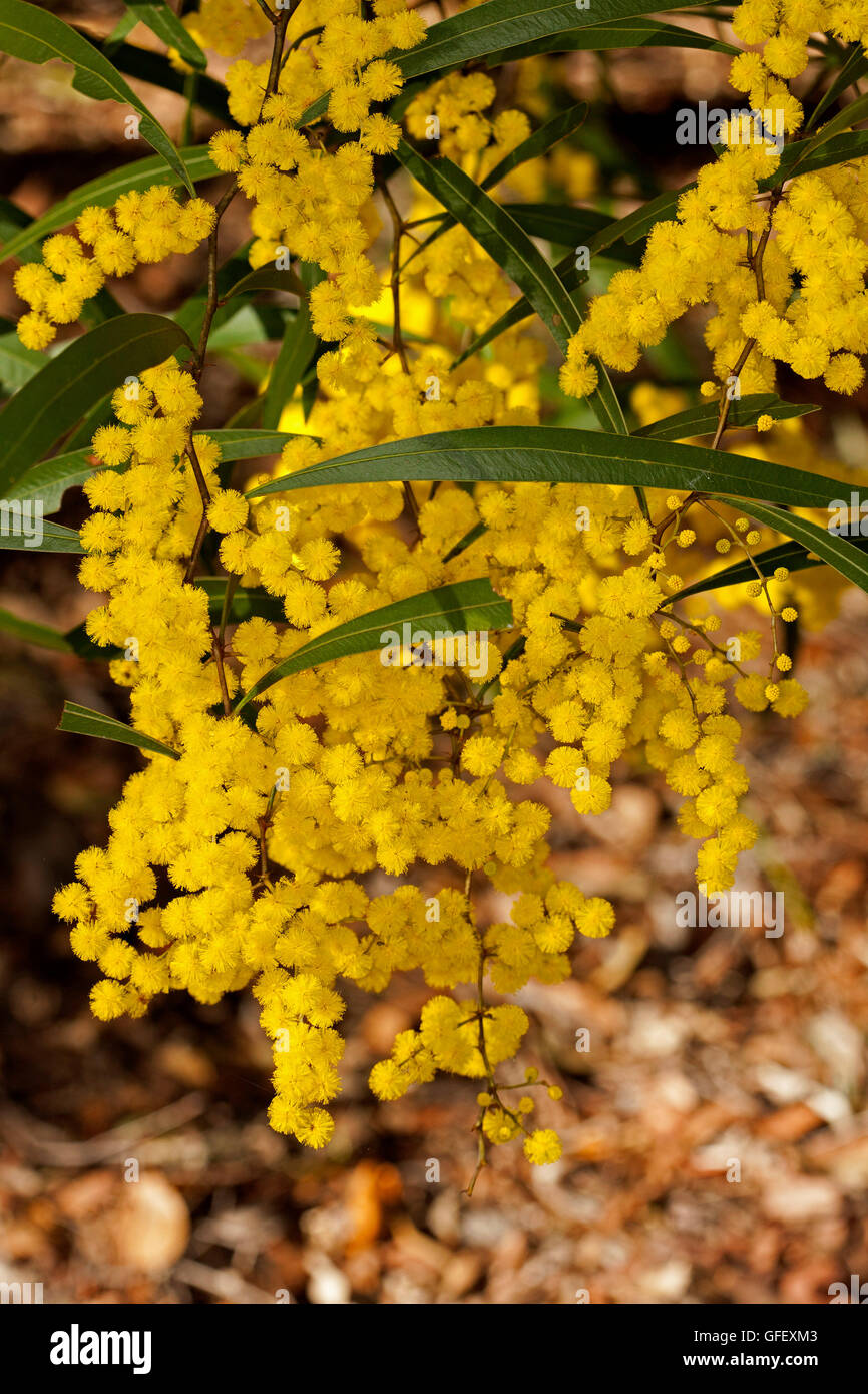 Large dense cluster of golden yellow flowers and deep green leaves of Australian native plant Acacia macradenia, - Stock Image