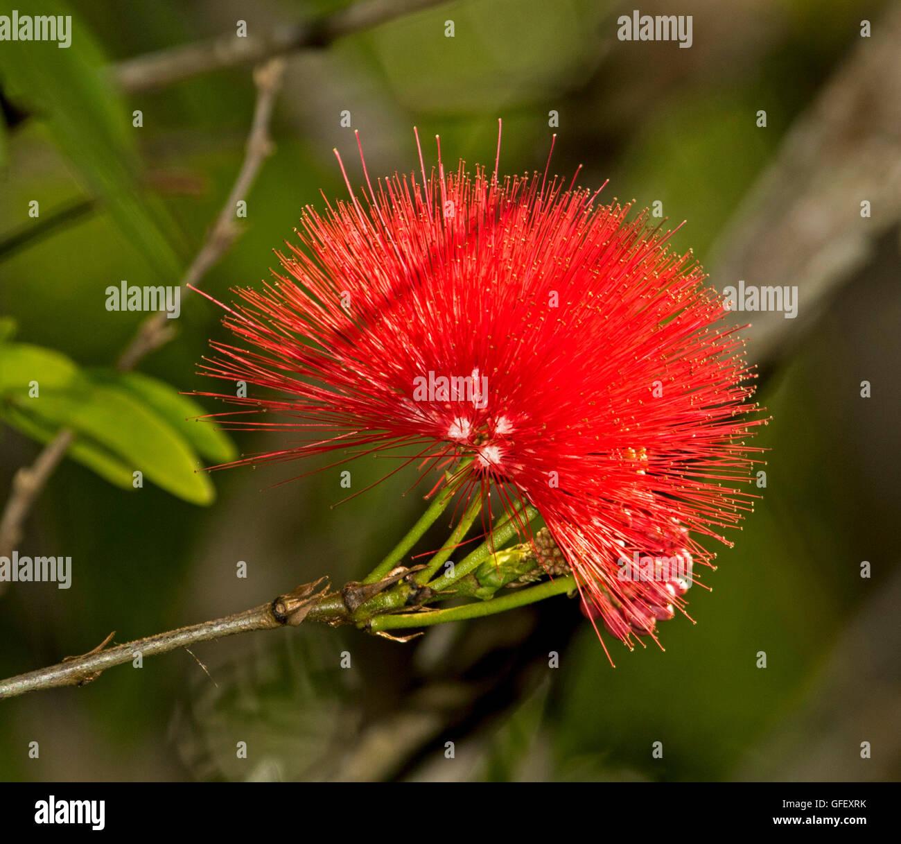 Bright Red Flower Of Calliandra Haematocephala Fairy Duster Pom