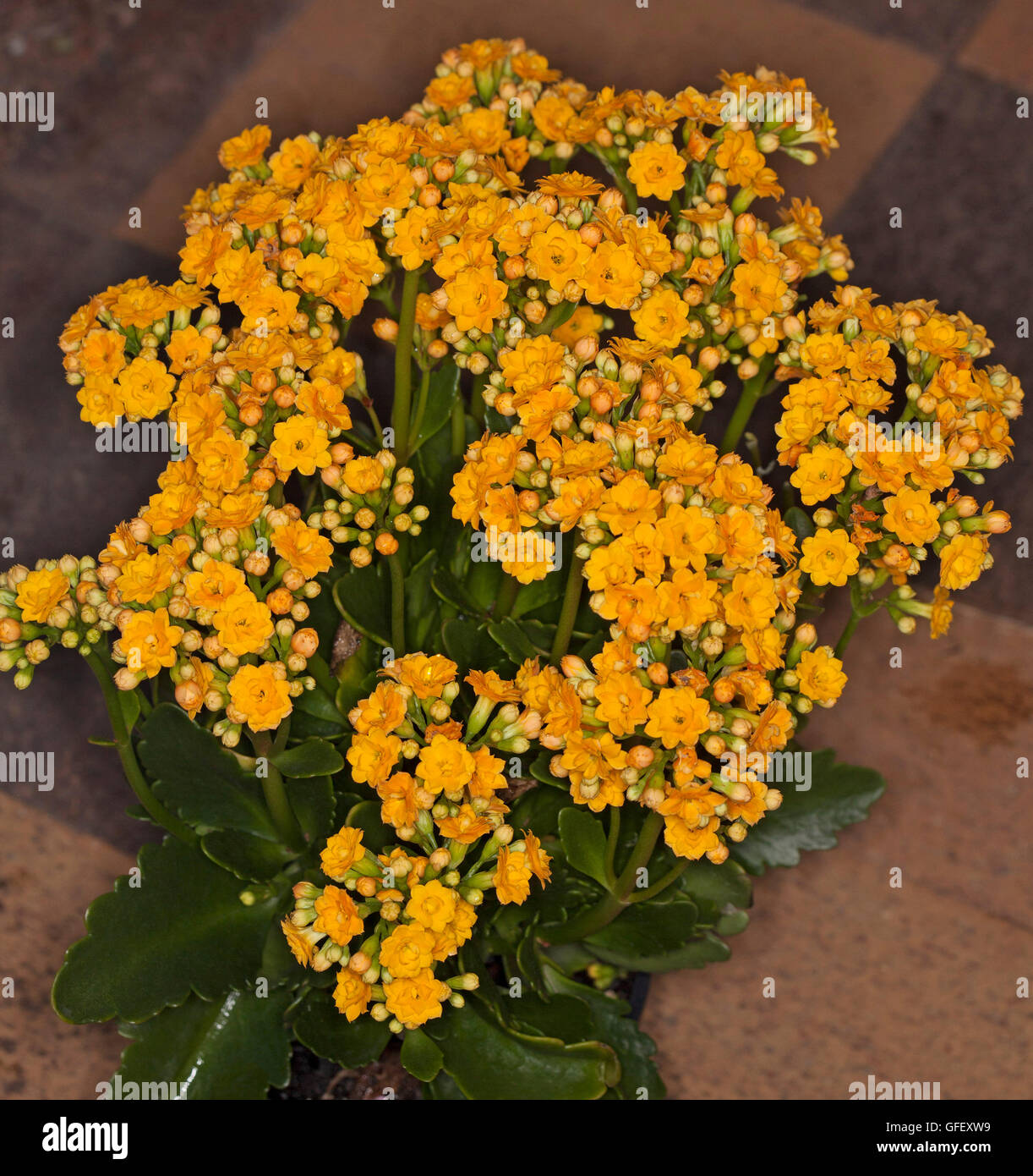 Cluster Of Vivid Double Golden Yellow Flowers And Dark Green Leaves