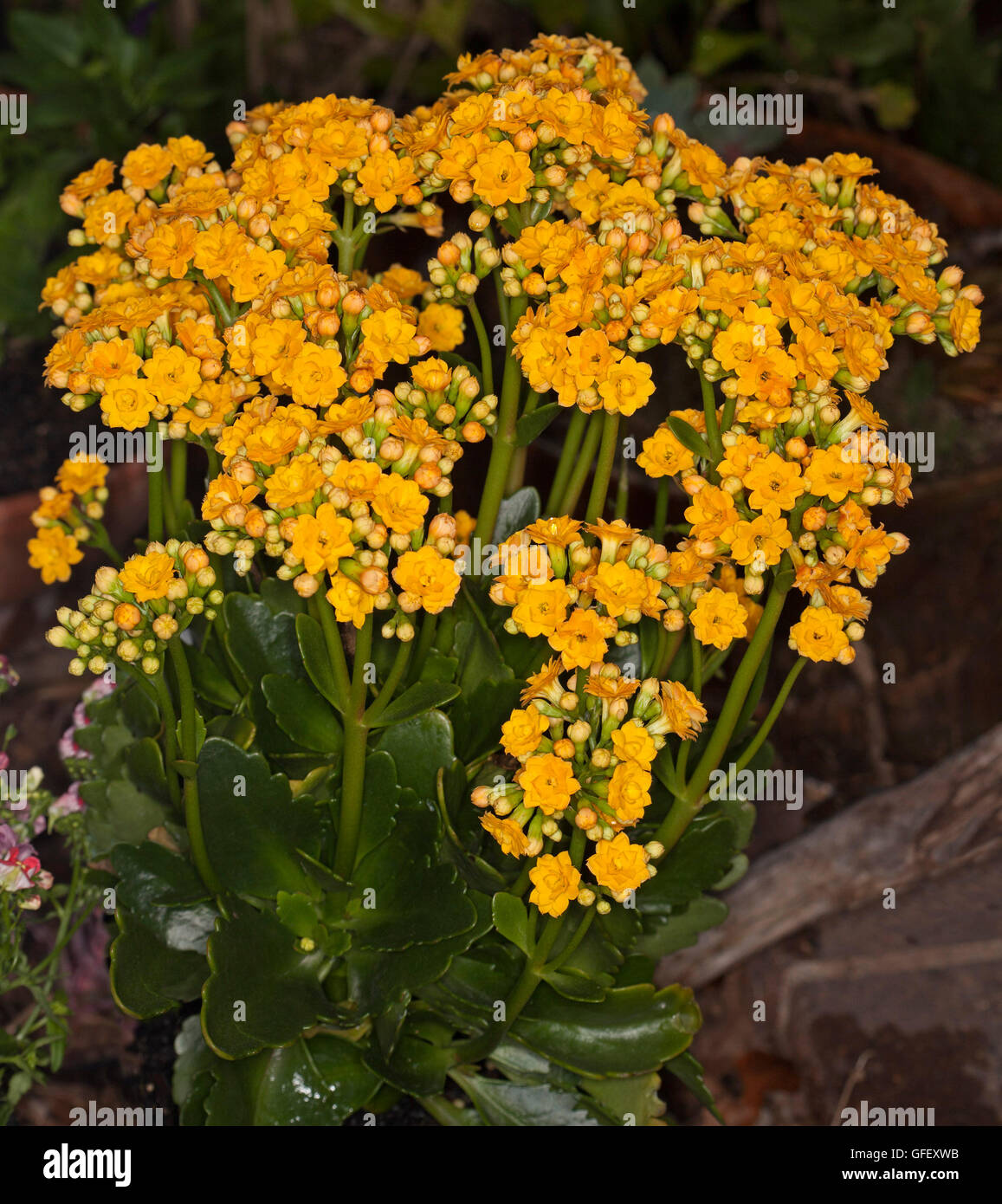 Yellow kalanchoe flowers stock photos yellow kalanchoe flowers cluster of vivid double golden yellow flowers and dark green leaves of succulent plant kalanchoe blossfeldiana mightylinksfo