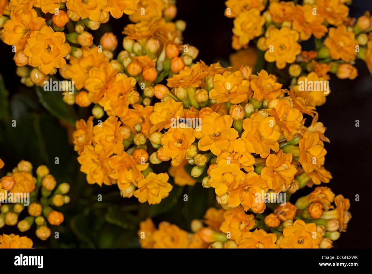 Kalanchoe blossfeldiana stock photos kalanchoe blossfeldiana stock close up of cluster of vivid double golden yellow flowers of succulent plant kalanchoe blossfeldiana mightylinksfo