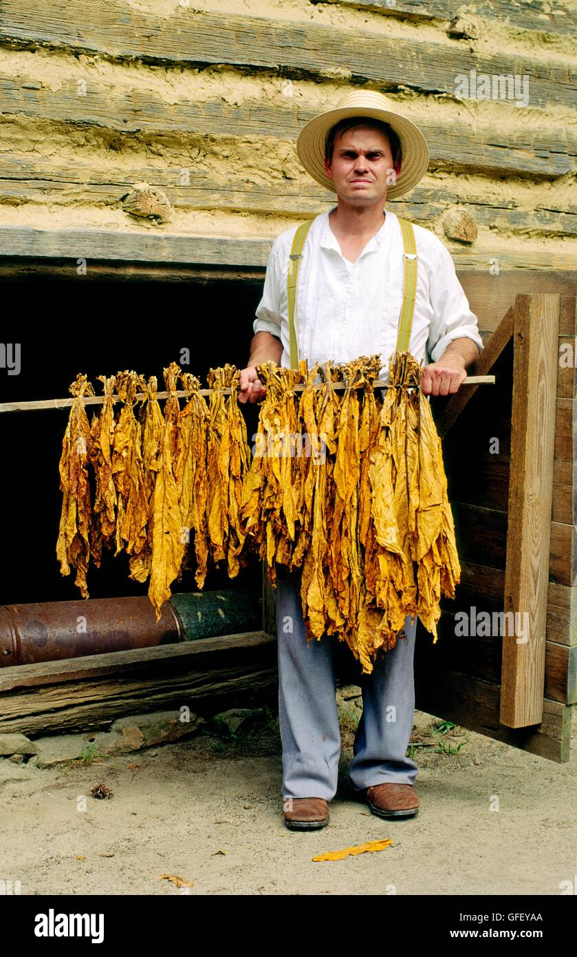 Man holds stick of tobacco leaves outside curing shed at the historic Duke Homestead near town of Durham, North - Stock Image