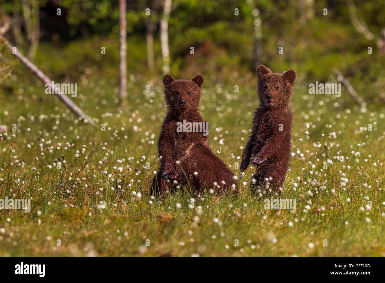 Three brown bear cubs in a field of cotton grass, Finland. - Stock Image