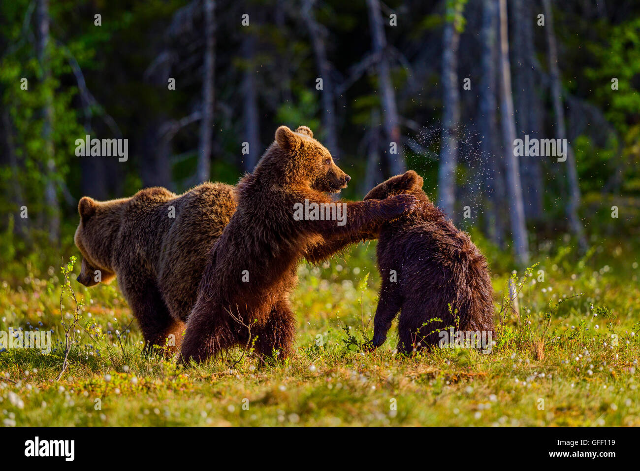 Brown bear cubs playing with each other, Finland. - Stock Image