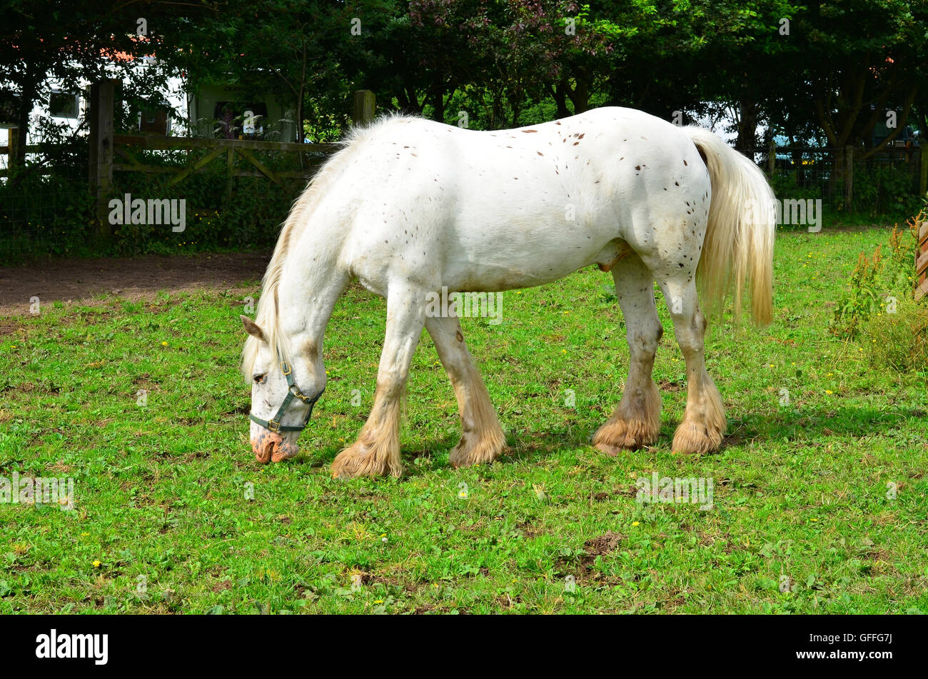 White Horse In A Farm Paddock Stock Photo Alamy