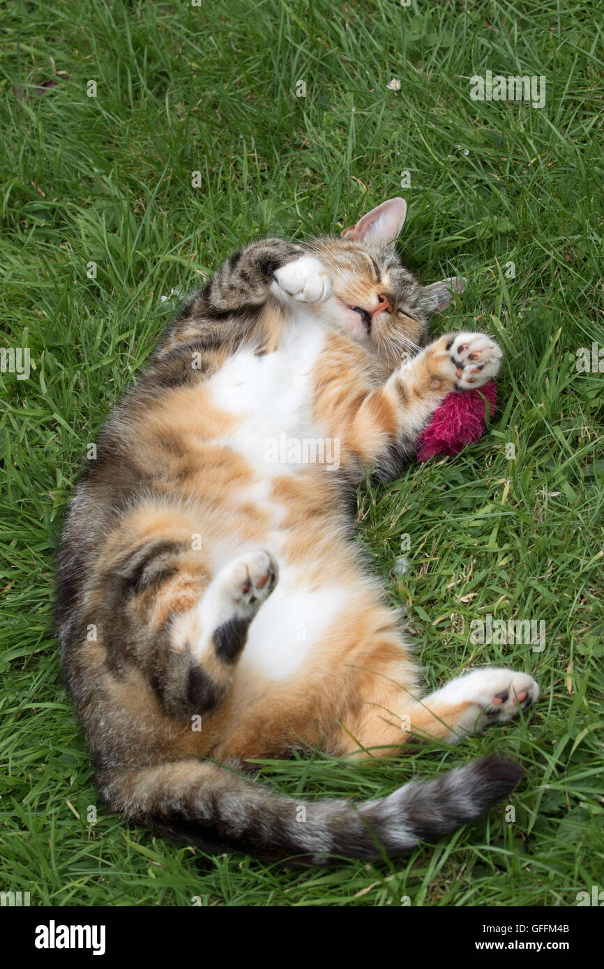 Domestic Cat. Single adult rolling on grass in garden with favourite toy. Worcestershire, UK - Stock Image