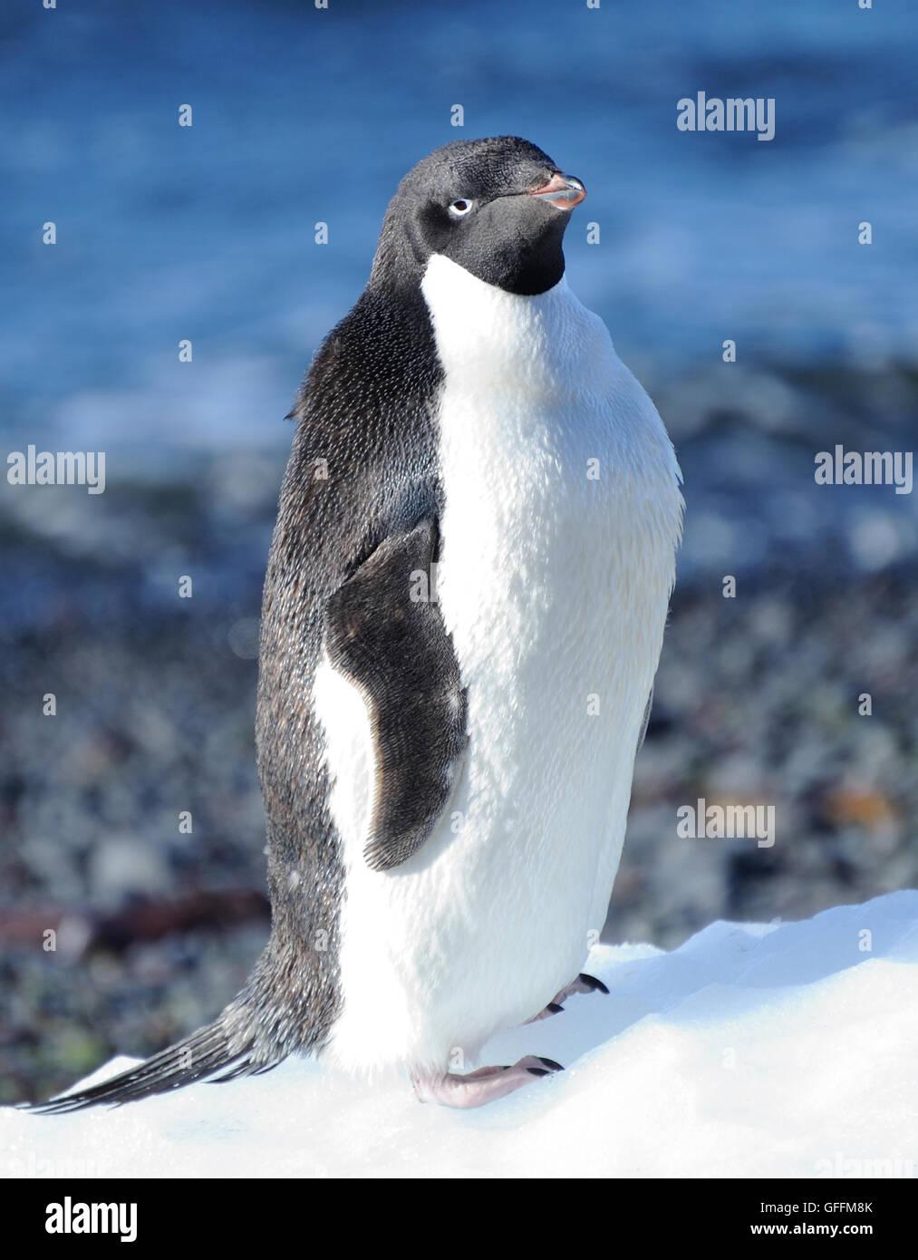 An Adélie penguin (Pygoscelis adeliae) stands on a lump of ice.   Brown Bluff, Antarctic Peninsula. Antarctica. Stock Photo