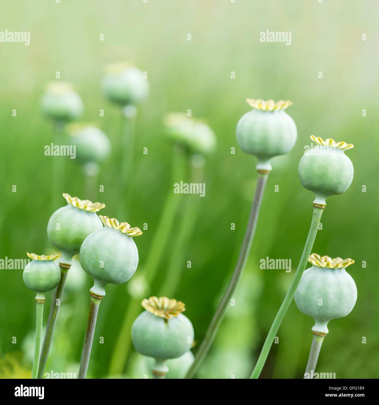 Closeup of closed poppy (Papaveraceae) heads in a field - Stock Image