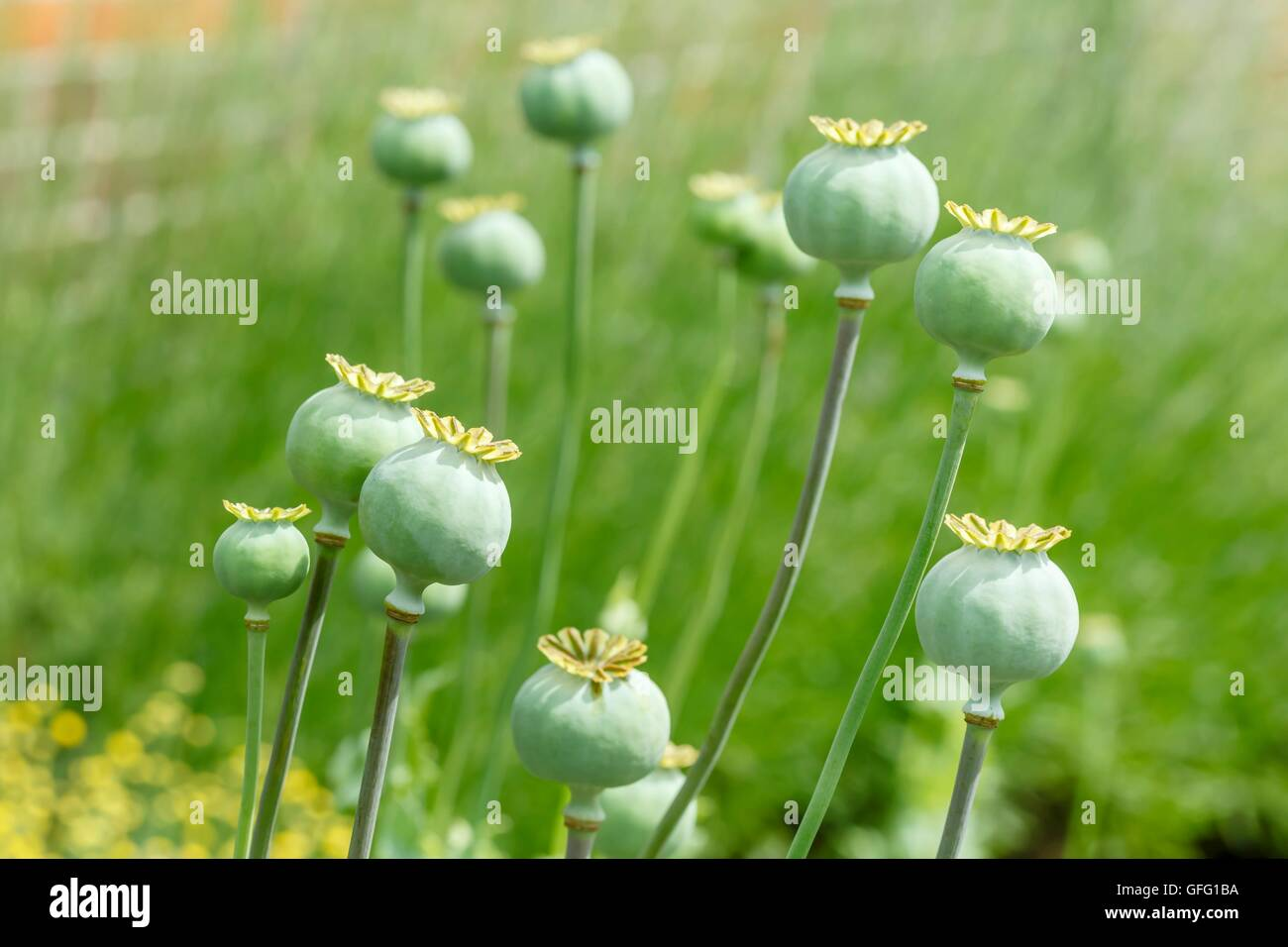 Closeup of green poppy seed pods in a garden - Stock Image