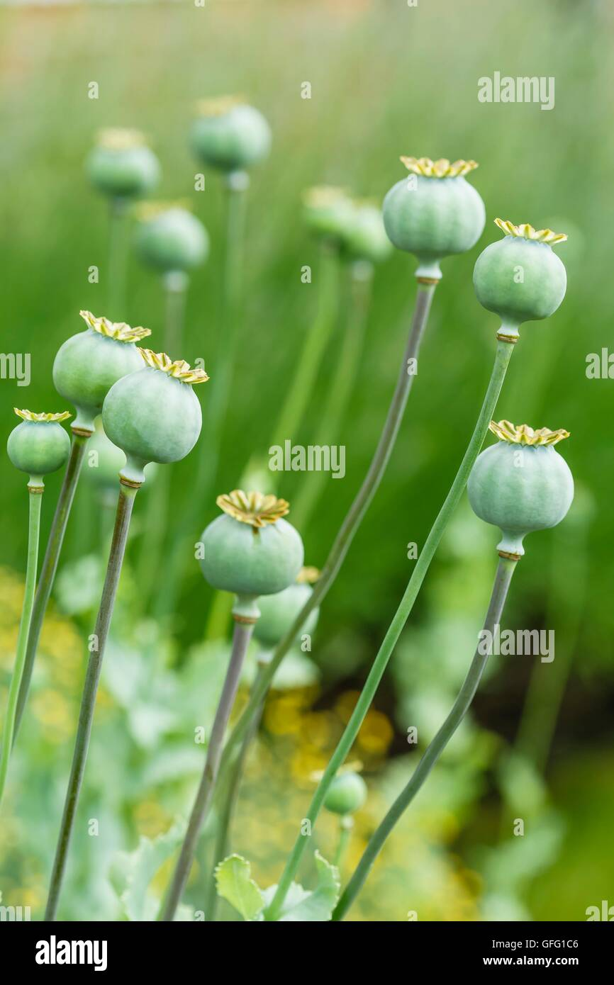 Green poppy (Papaveraceae) seed heads in a garden - Stock Image