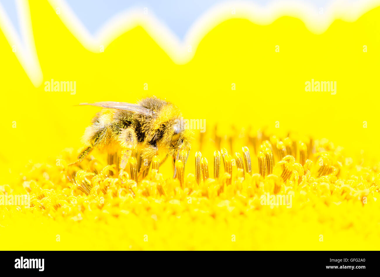 Bees on Sunflower plants - Stock Image