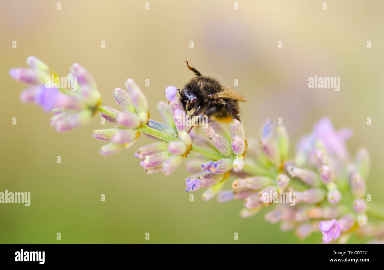 Bees on Lavender plants - Stock Image