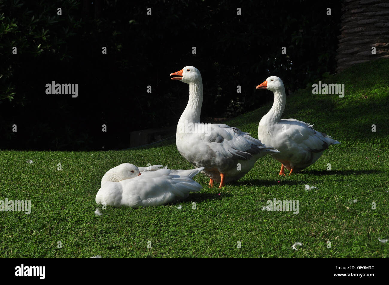 Three happy ducks on grass enjoy the afternoon sunshine. - Stock Image