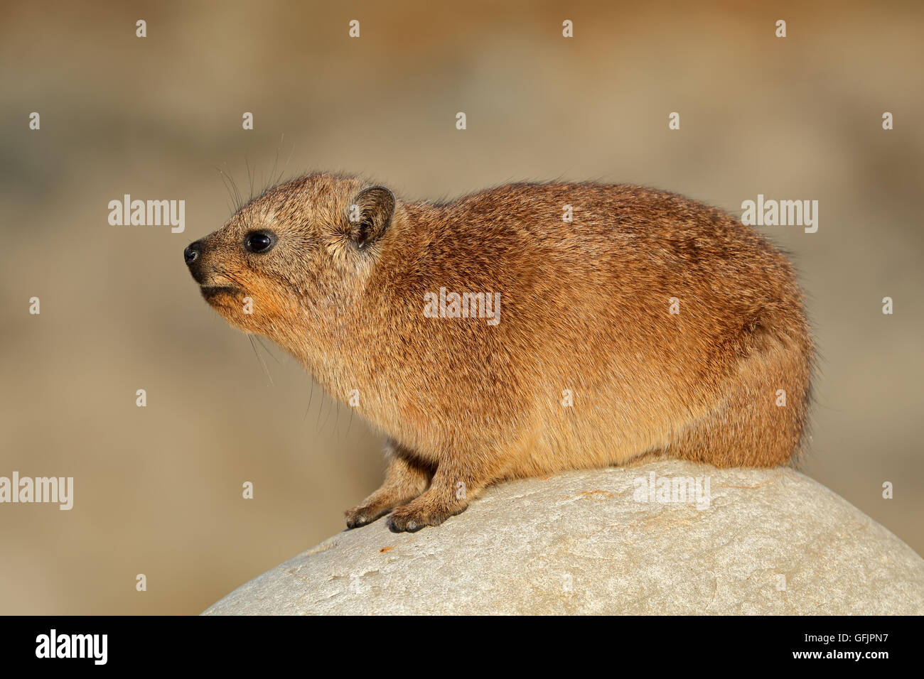 Rock hyrax (Procavia capensis) basking on a rock, South Africa - Stock Image
