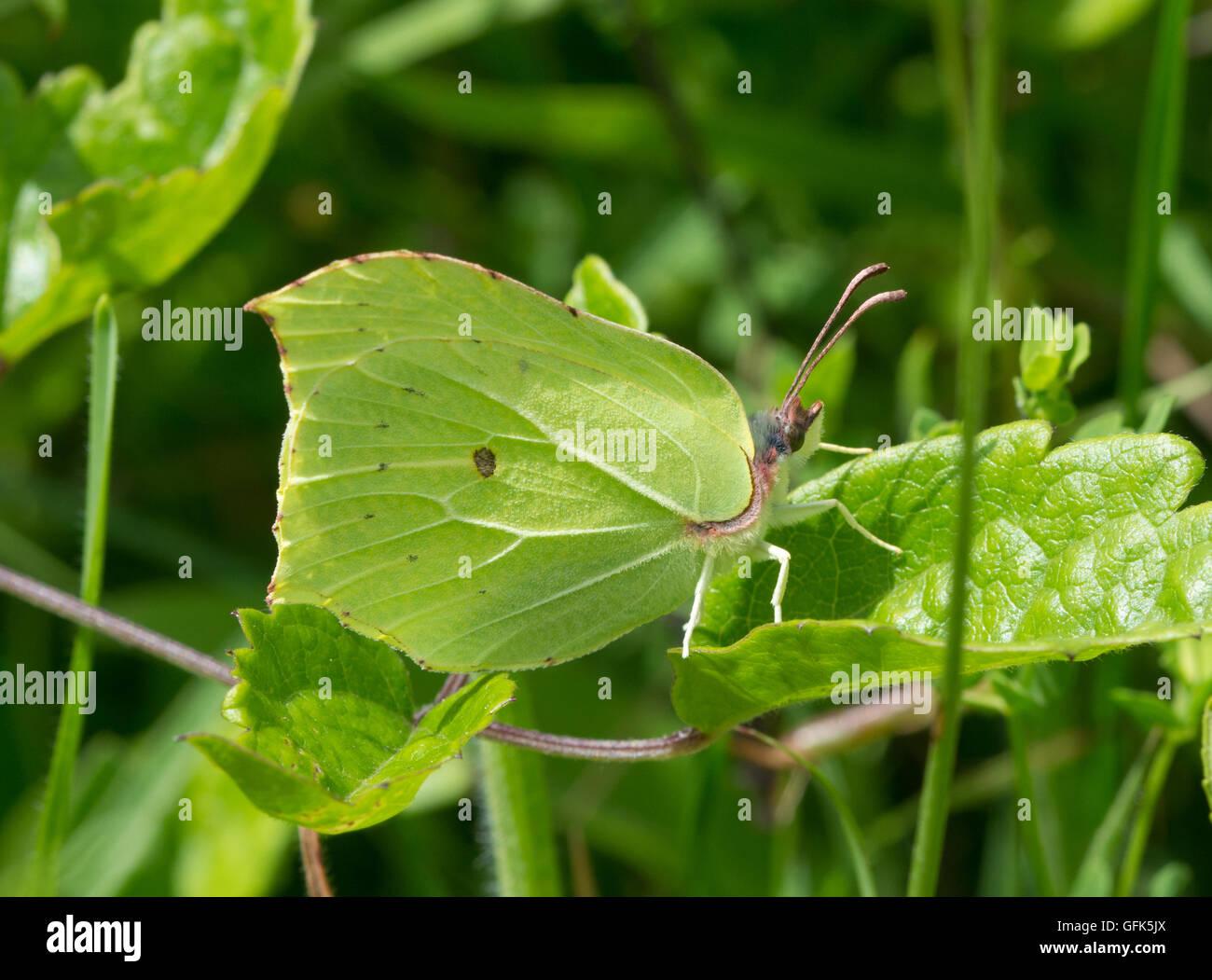 Male brimstone butterfly (Gonepteryx rhamni) in Hampshire meadow habitat in England Stock Photo