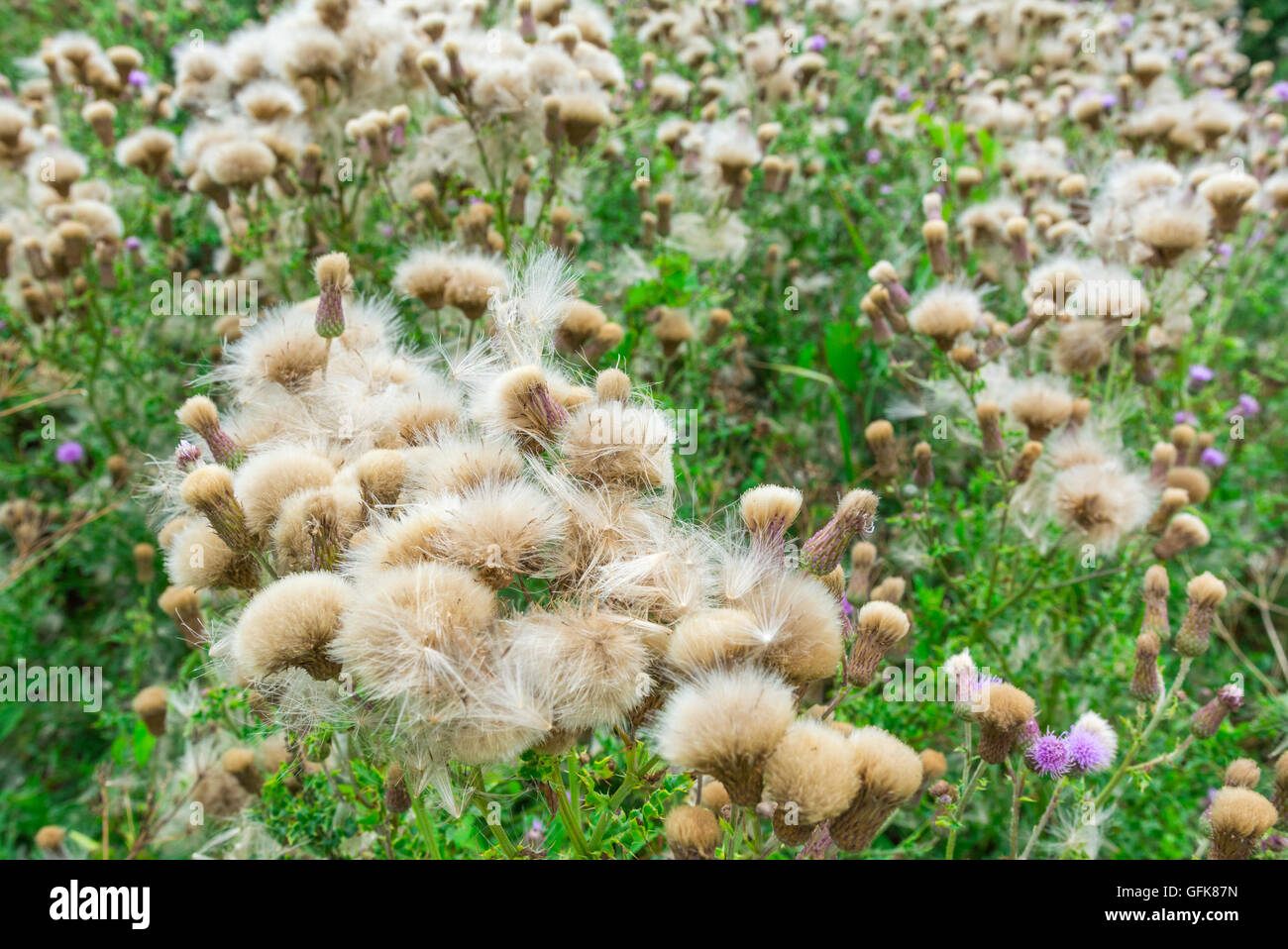 Creeping Thistle (Cirsium arvense) plant growing in Summer in the UK. - Stock Image