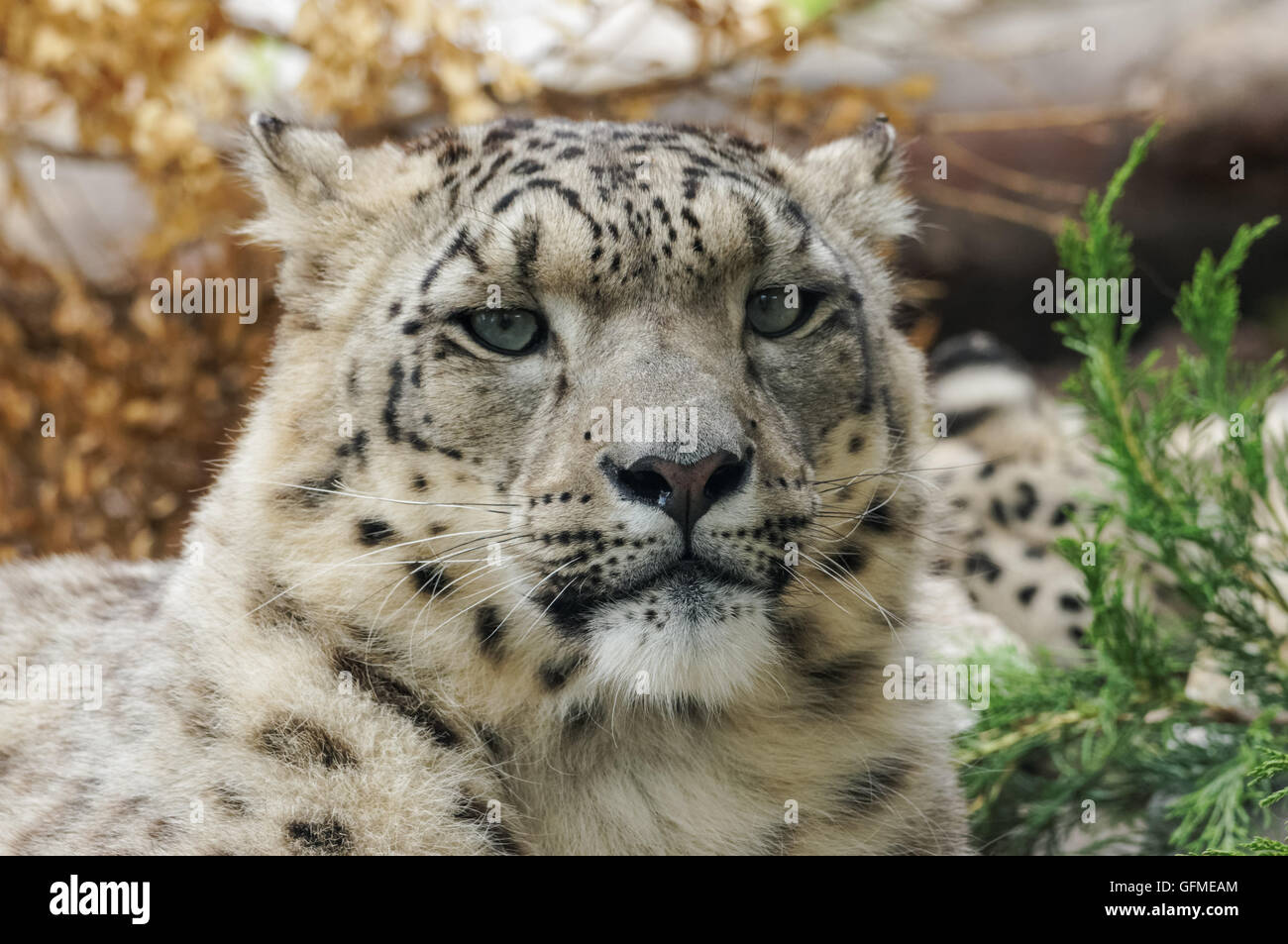 The snow leopard at Zoo, Plock Poland - Stock Image