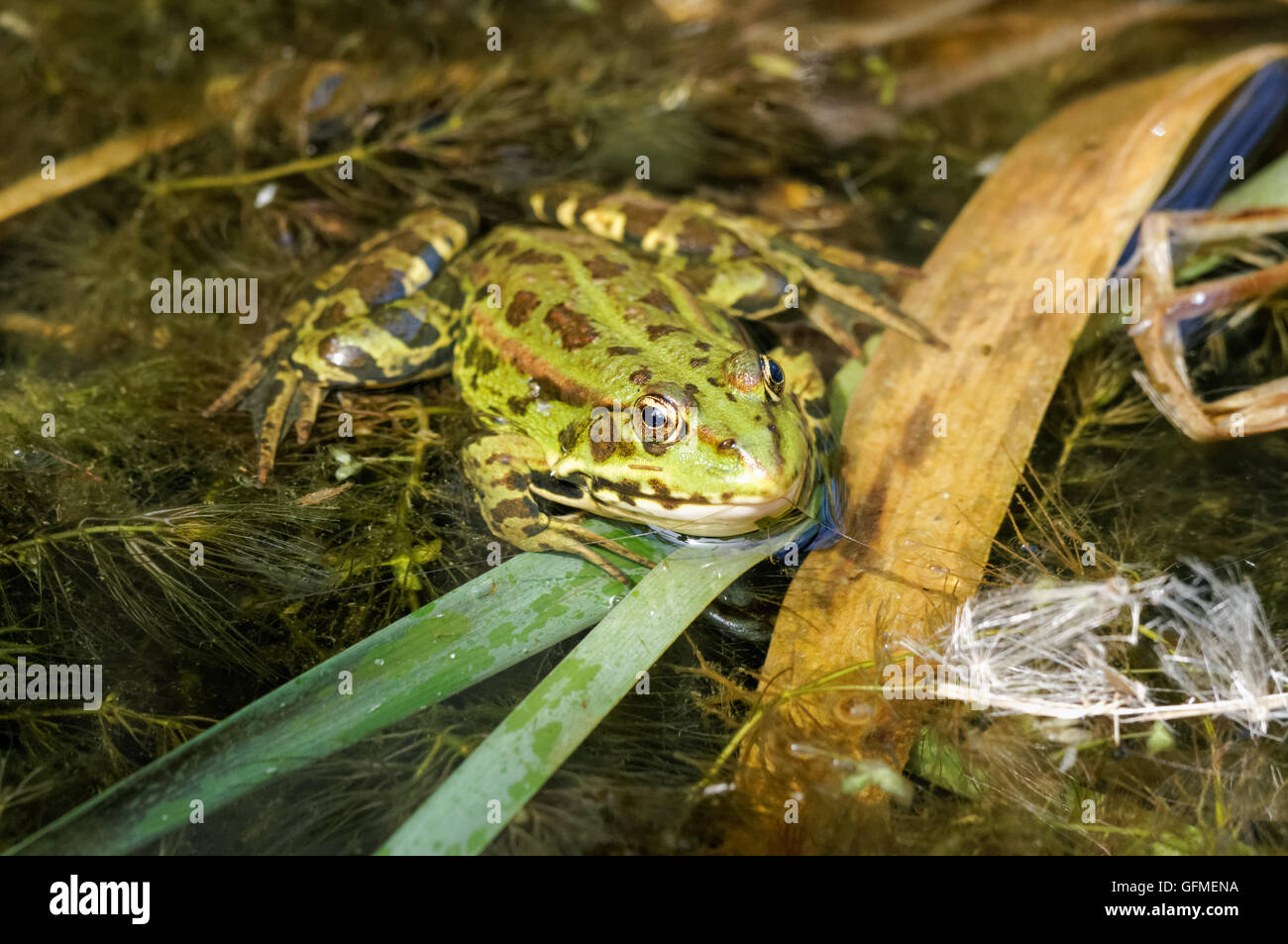 The pool frog (Pelophylax lessonae) at Rainham Marshes Nature Reserve in London England United Kingdom UK - Stock Image