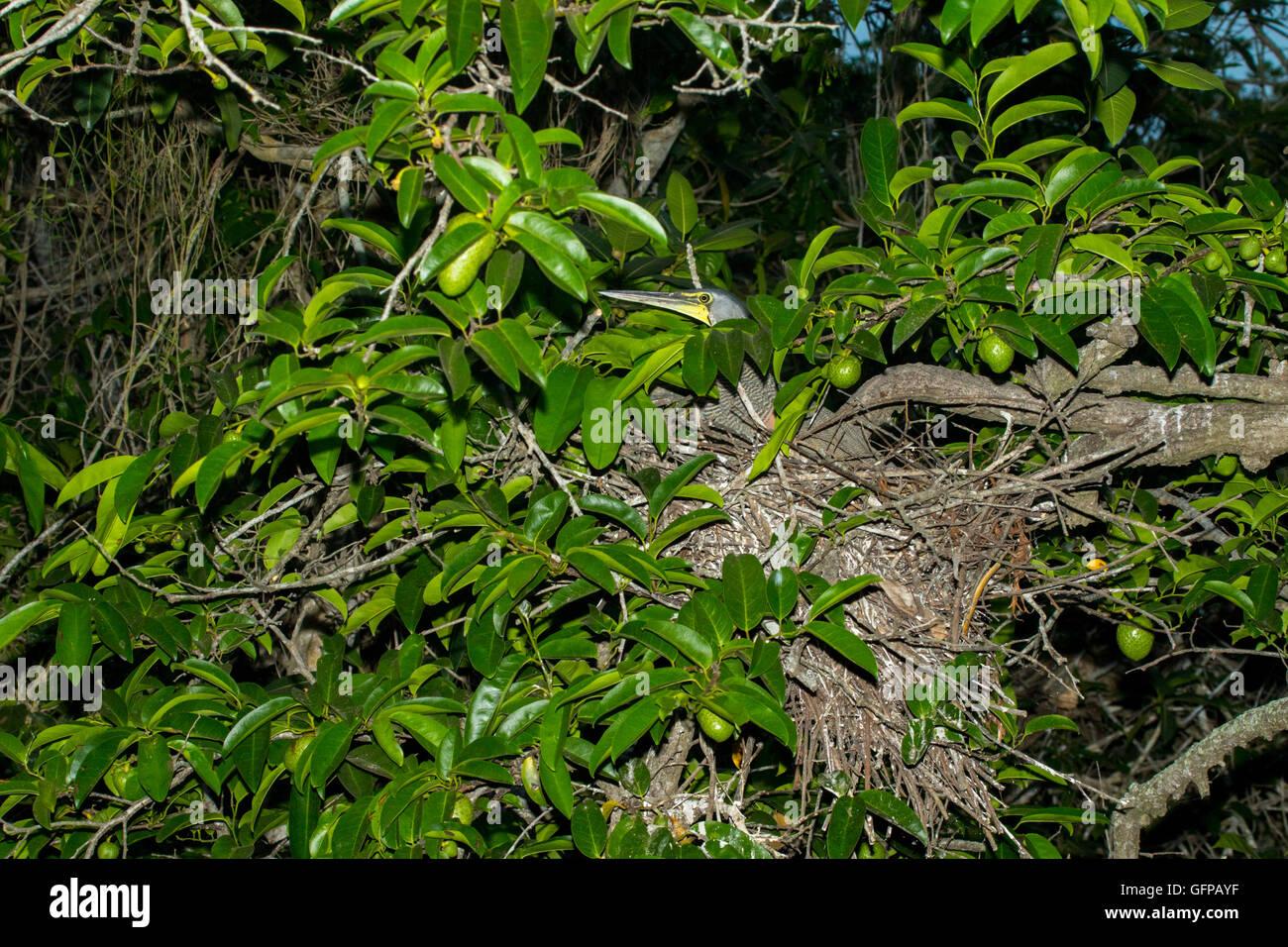 Bare-throated Tiger-Heron  Tigrisoma mexicanum  San Blas, Nayarit, Mexico 6 June     Adult on nest.       Ardeidae - Stock Image