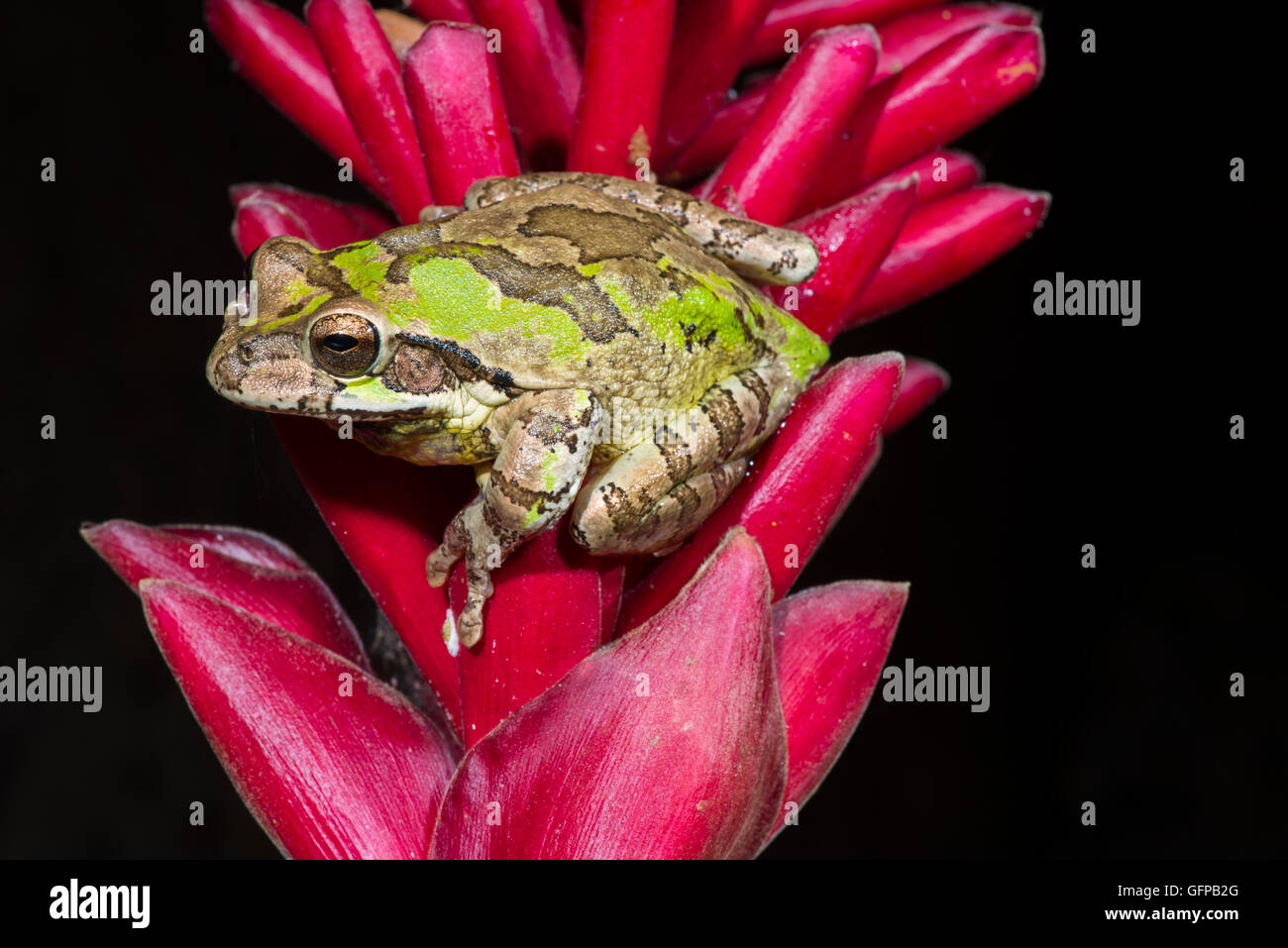 Common Mexican Treefrog  Smilisca baudinii El Tuito, Jalisco, Mexico 12 June      Adult showing day colors.     - Stock Image