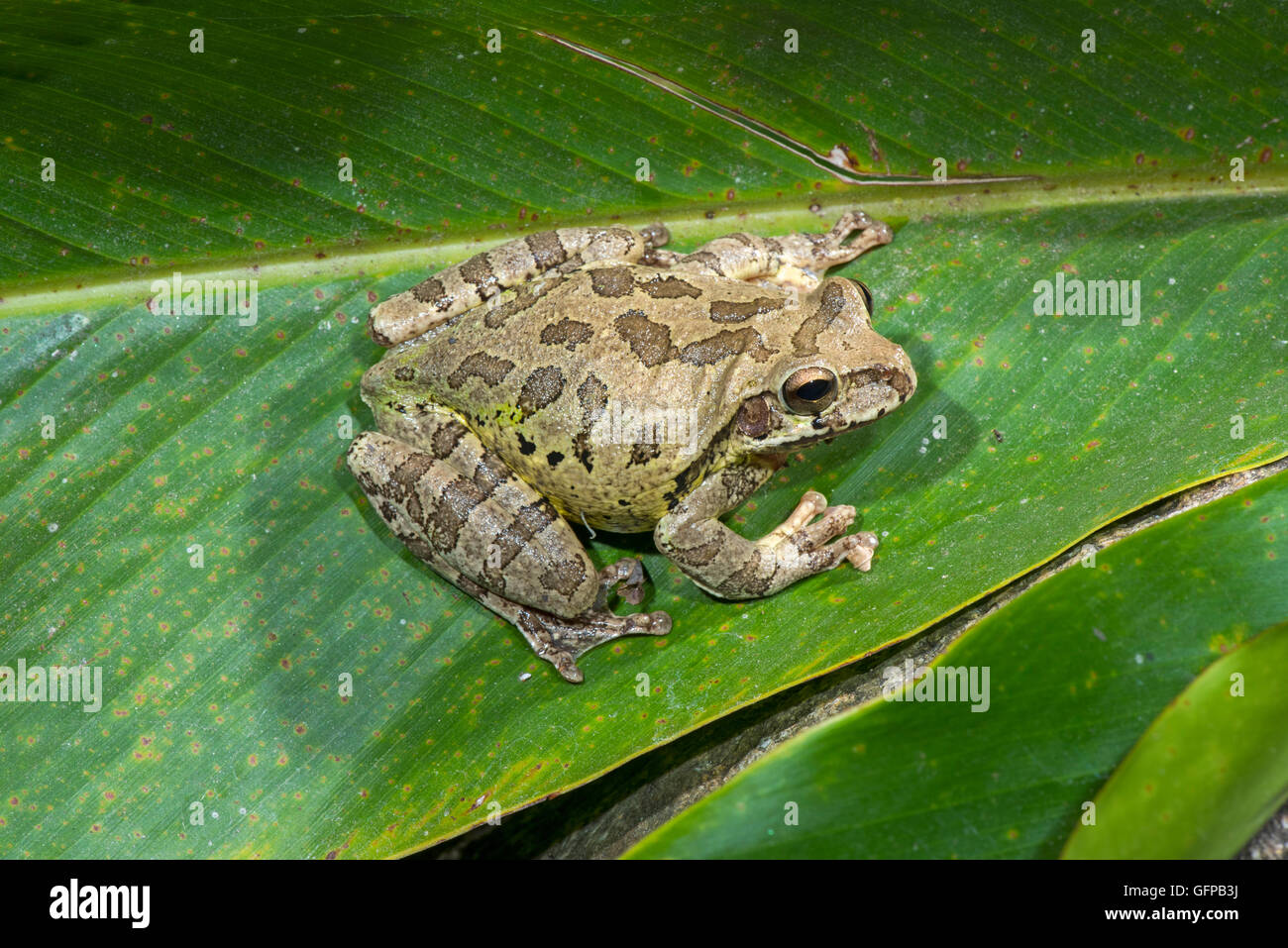 Common Mexican Treefrog  Smilisca baudinii El Tuito, Jalisco, Mexico 12 June      Adult       Hylidae - Stock Image
