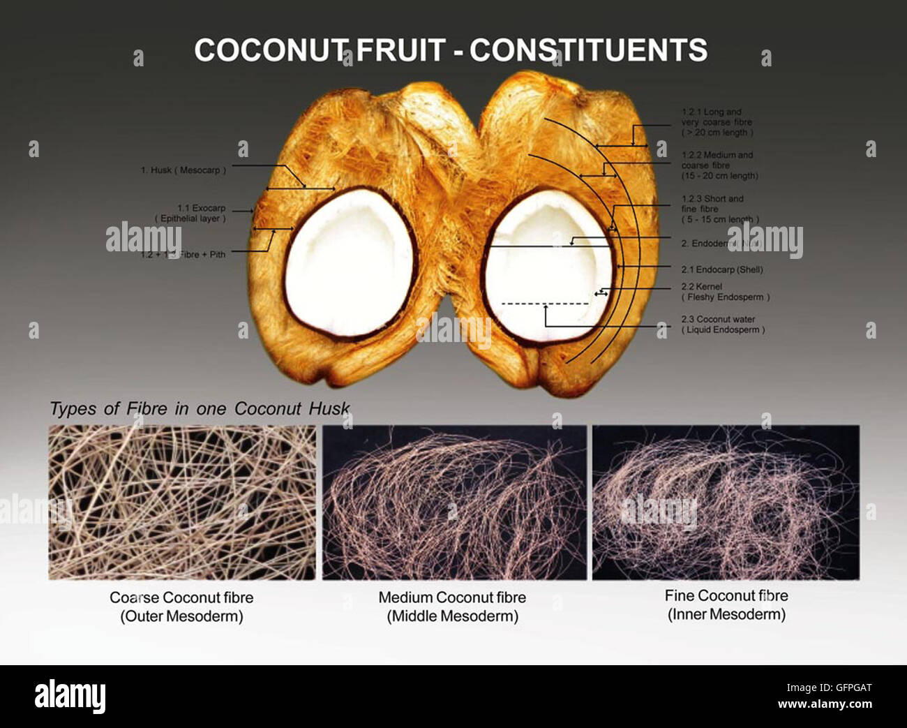 """Traditionally """"Coconut Palm Fruit"""" is dehusked manually and outer cover HUSK (mesoderm) and NUT (endoderm) of coconut - Stock Image"""
