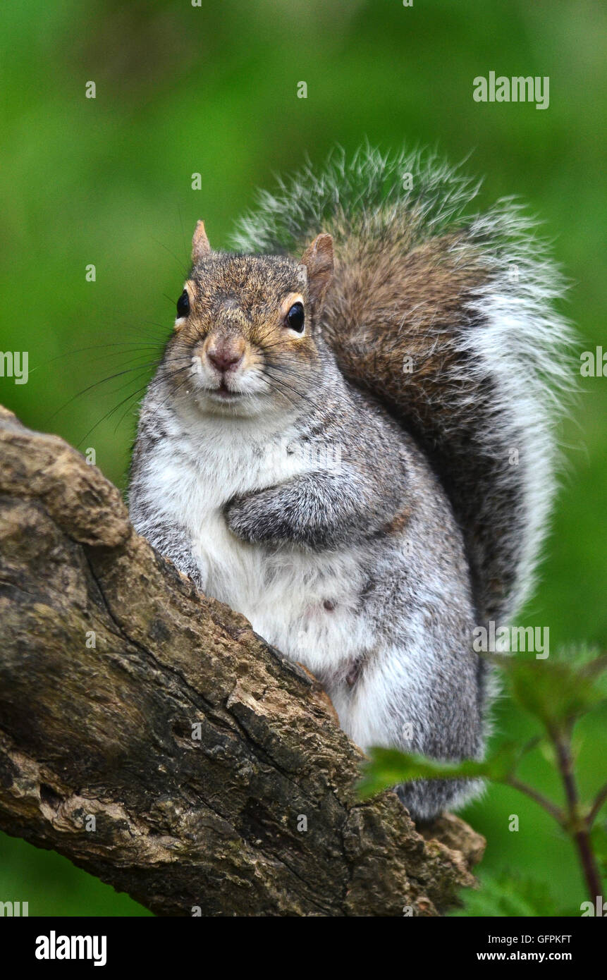 A grey squirrel on the branch of a tree UK - Stock Image