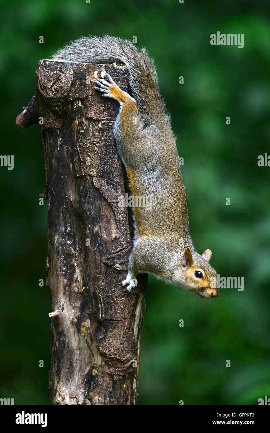 A grey squirrel coming down a tree UK - Stock Image