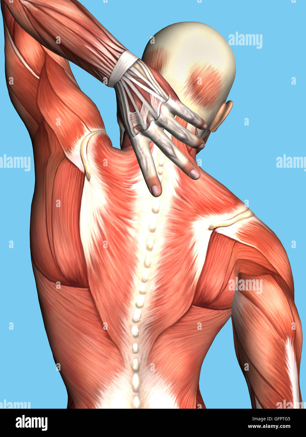 Anatomy of Male With Upper Back Pain: Featuring male figure reaching ...