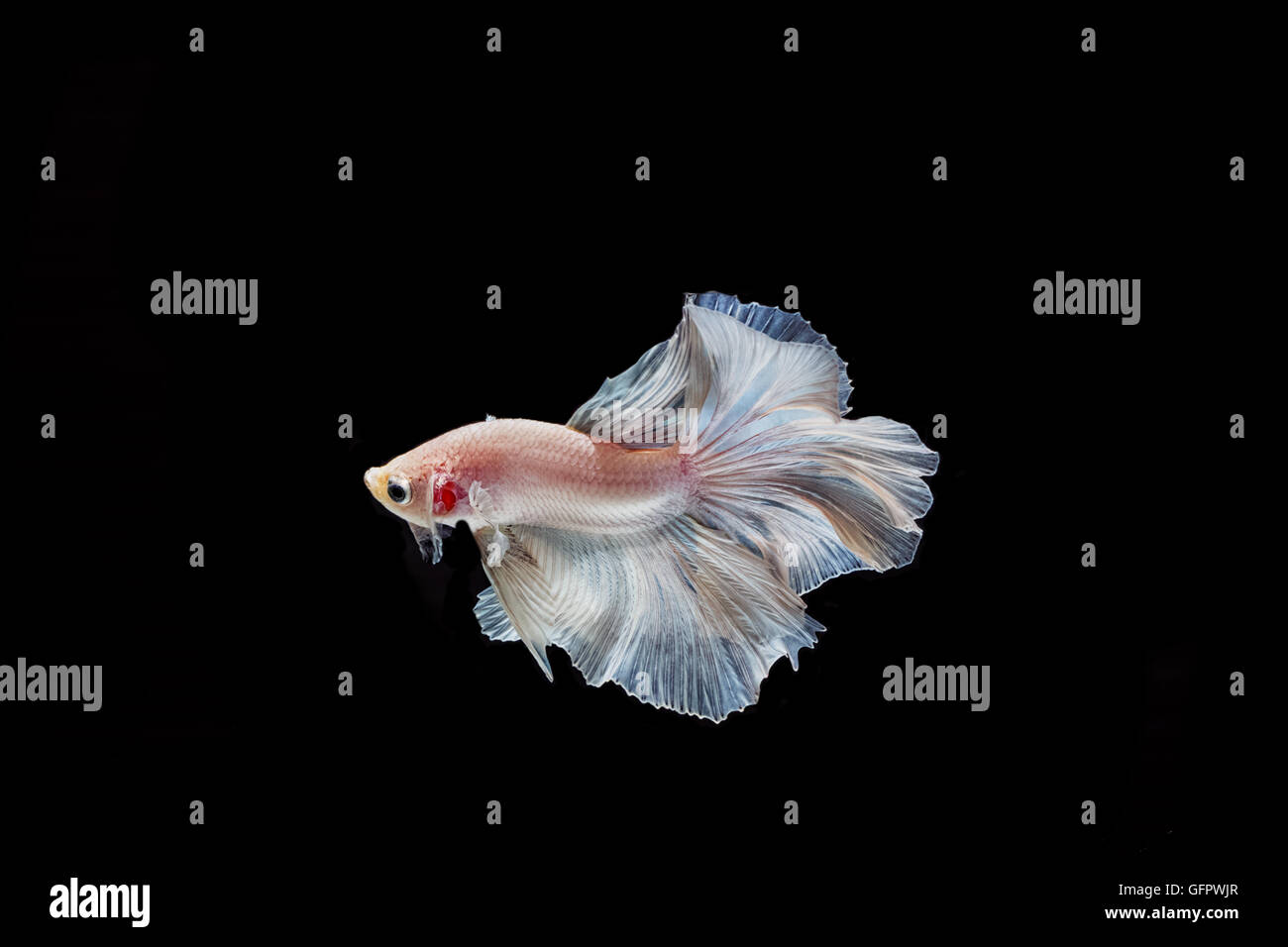 moving moment of white siamese fighting fish isolated on black background Stock Photo