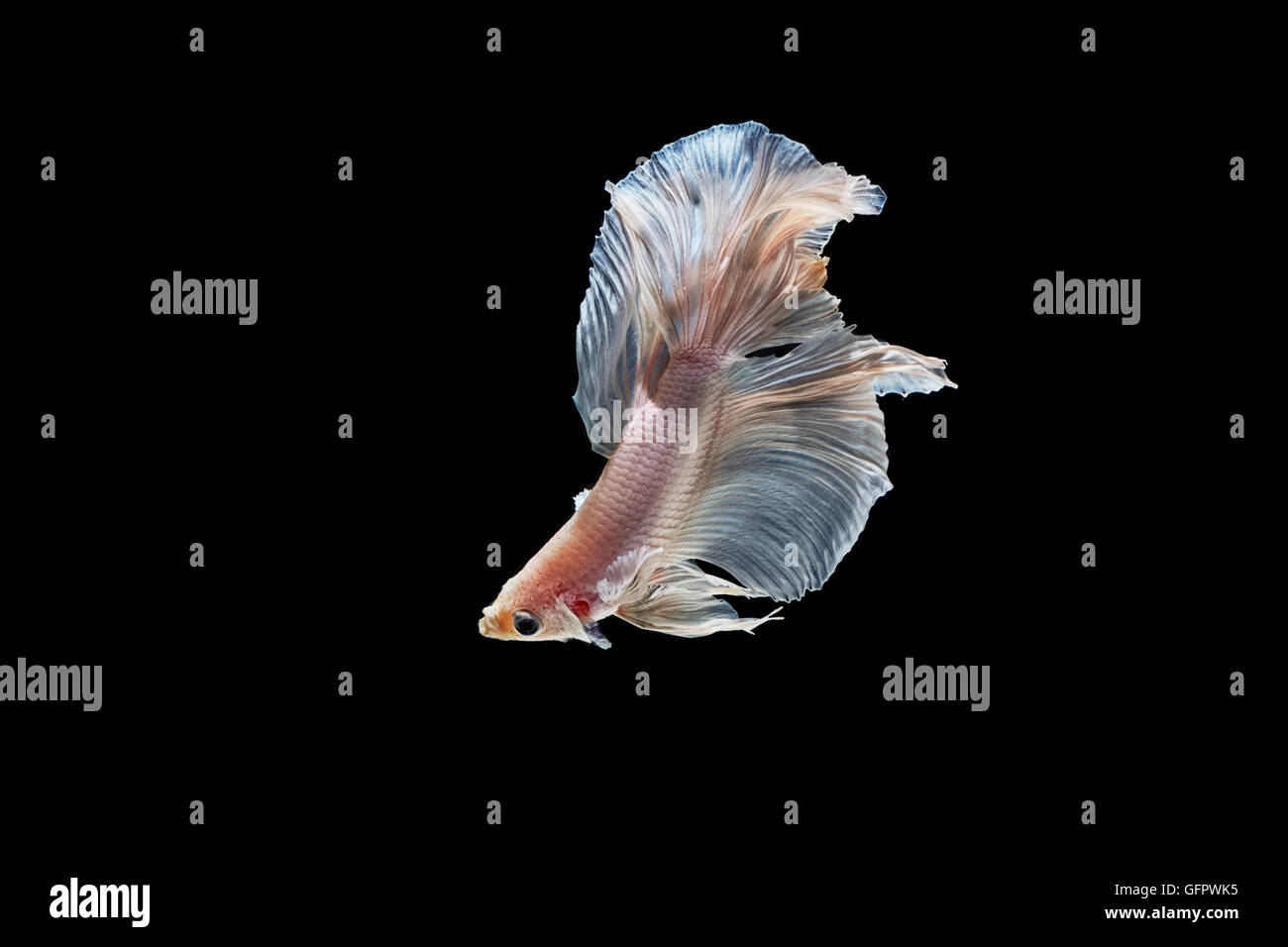 moving moment of white siamese fighting fish isolated on black background - Stock Image